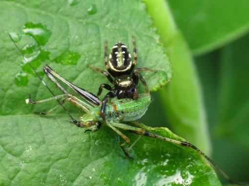 Paraphidippus aurantius with orthopteran prey