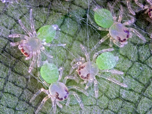 Viciria praemandibularis spiderlings, NTUsafti, Singapore